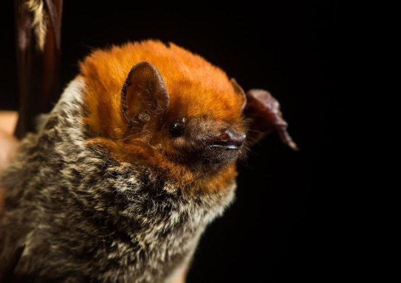 Captura do morcego faz parte de um trabalho de doutorado desenvolvido