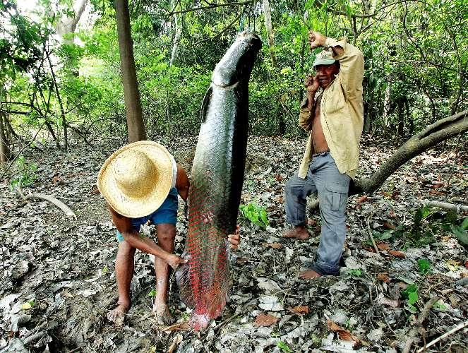Pesca_do_pirarucu Foto Divulgação Ipaam
