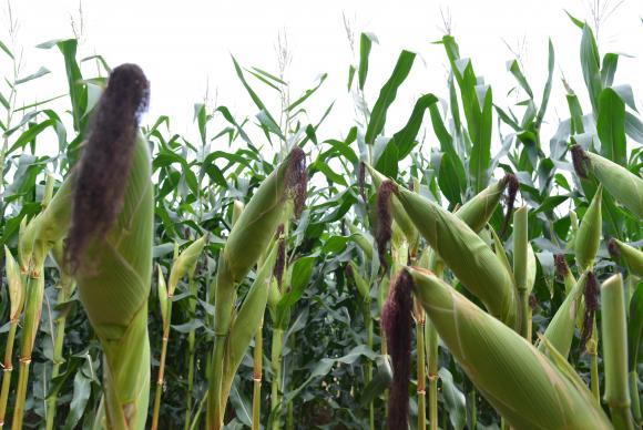 MILHO O  milho  foi  destaque  nas  exportações  do  agronegócio,  que  tiveram  aumento  de  17%  ArquivoAgência Brasil