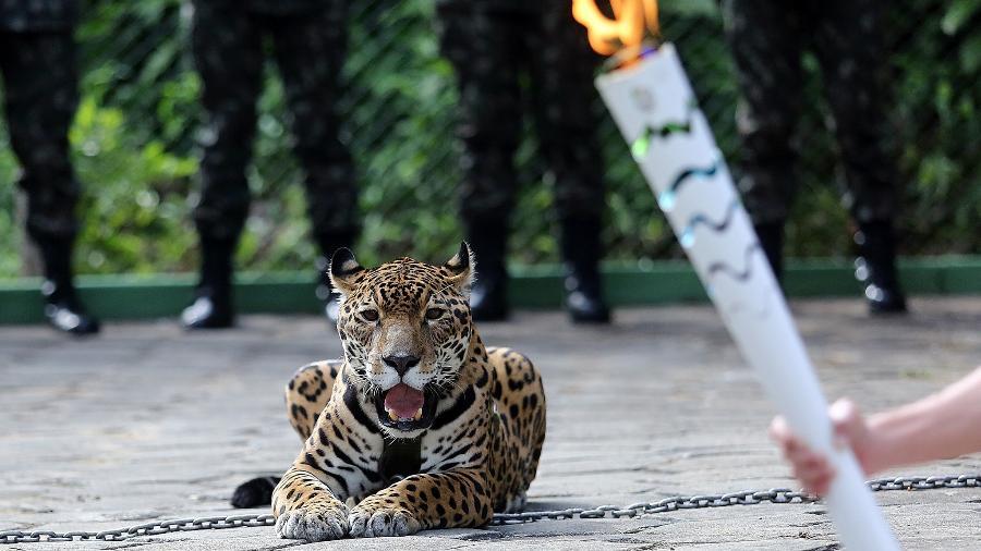 Onça Juma foi morta a tiros horas depois de participar de cerimônia da Tocha Olímpica (Foto: Ivo Lima/ME/Fotos Públicas)