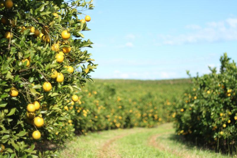 Paraná triplica produção de laranja, com foco na exportação de suco. 24/11/2015. Foto: Pedro Crusiol