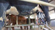Vaca leite (Foto: Faea/Divulgação)