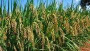 arroz (Foto: Sebastião Araújo/Embrapa)