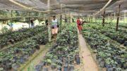 Estufa com mudas do guaraná (Foto: Divulgação)