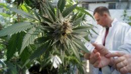 Cultivo da maconha para uso próprio fica proibido (Foto: Divulgação)
