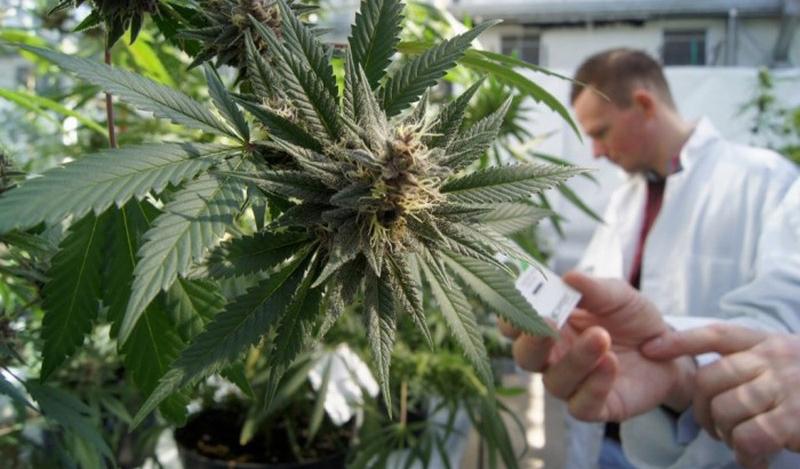 Comissão aprova cultivo de planta da maconha para uso medicinal