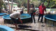 Peixe-boi Inpa (Foto: Ipaam/Divulgação)