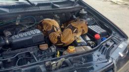 Em abril deste ano, uma jiboia de mais de três metros foi encontrada em motor de carro (Foto:Corpo de Bombeiros/Divulgação)