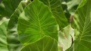 Planta conhecida como aninga é encontrada nas áreas alagadas da Amazônia (Foto: Museu Goeldi/Divulgação)
