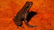 Nova espécie de sapo conhecida tem apenas 3 centímetros (Foto: Leo Malagoli/Divulgação)