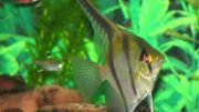 Peixe ornamental da Amazônia tem grande procura no mercado internacional (Foto: Fapeam/Divulgação)