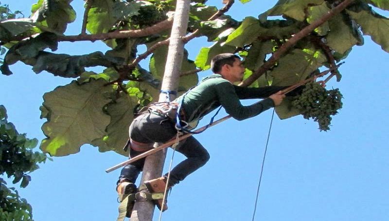Pesquisadores colheram frutos a partir dos quais será possível identificar espécie da árvore (C id Ferreira/Inpa/Divulgação)