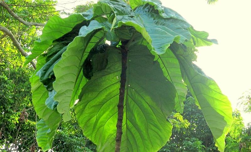 Coccoloba Inpae homenageia o Inpa pela descoberta da planta por pesquisadores do instituto (Foto: Cid Ferreira/Inpa/Divulgação)