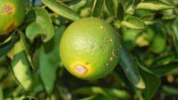 Cancro cítrico ataca o laranjal causando queda das folhas e 'lesões' nos frutos (Foto: Sepror/Divulgação)