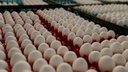 Produção de ovos de galinha aumentou em todo o País, segundo o IBGE (Foto: Paulo Pinto/Fotos Públicas)