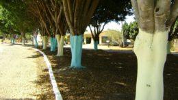Pintura de troncos de árvores é comum em Manaus como função estética e decoração para o Natal (Foto: Divulgação)