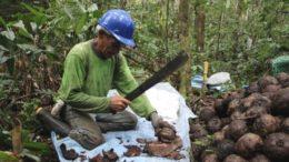 Castanha do ará está entre os produtos que serão incentivados pelo Governo do Amazonas (Foto: Embrapa/Divulgação)