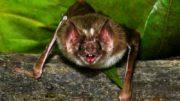 Ataque de morcegos pode gerar contaminação por raiva (Foto: Carlos Poly/SMCS)