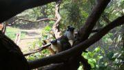 Espécie sauim-de-coleira está em extinção devido ao desmatamento nos arredores de Manaus (Foto: Parque Ecológico de São Carlos/Divulgação)