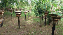 Colmeias cultivadas em Itapiranga. Município concentra polo de produção de mel no Amazonas (Foto: Ipaam/Divulgação)