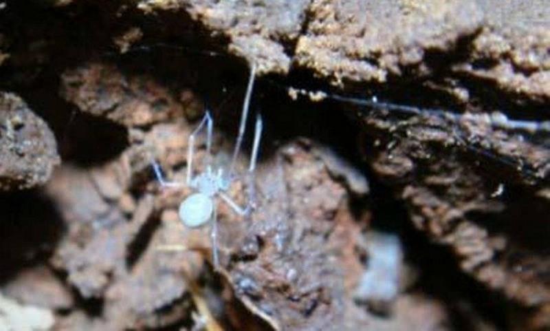 Ochyrocera varys homenageia personagem da série Game off Trones. Aranha foi descoberta no Pará (Foto: Igor Cizauskas /Divulgação)