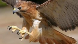 Falcão-peregrino se reproduz no Hemisfério Norte e seu voo pode atingir mais de 350 quilômetros por hora (Foto: YouTube/Reprodução)