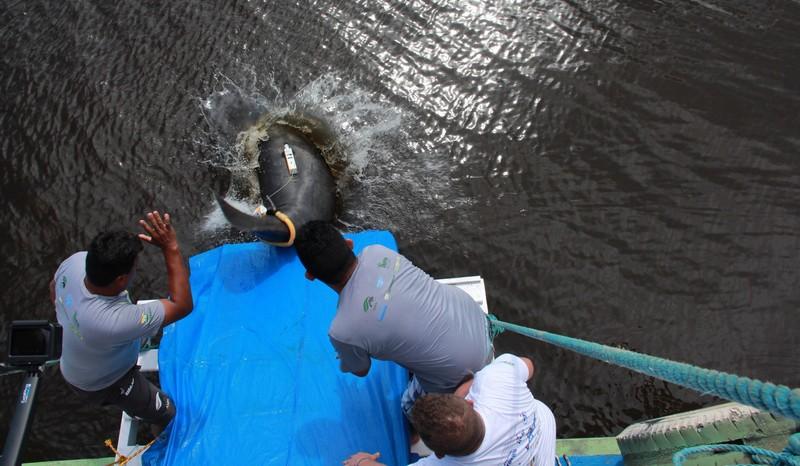 Maior soltura de peixes-bois será no Rio Purus neste domingo