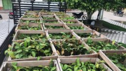 Mudas são distribuídas aos produtores com ajuda das prefeituras no interior do Estado (Foto: Idam/Divulgação)