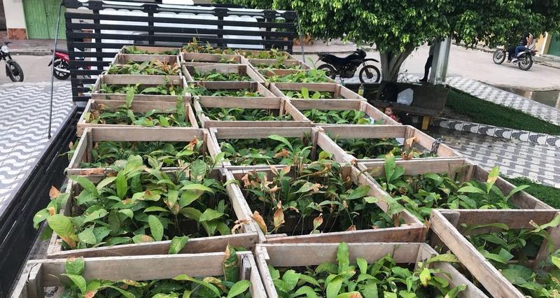 Empresa doa 17,8 mil mudas de castanha para cultivo no Amazonas