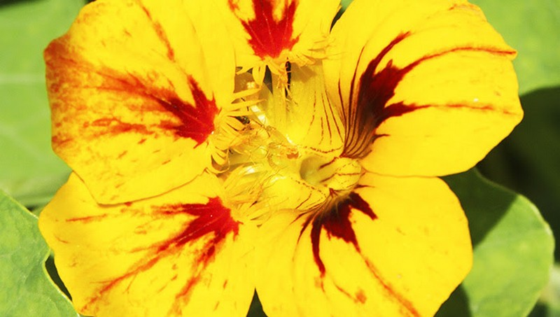 Pesquisa avalia benefícios nutricionais e vida útil de flor comestível