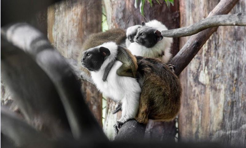 Dia do aniversário de Manaus também será o dia do macaco