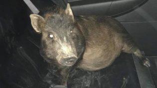 Homem mobiliza polícia nos EUA ao ser 'caçado' por um porco