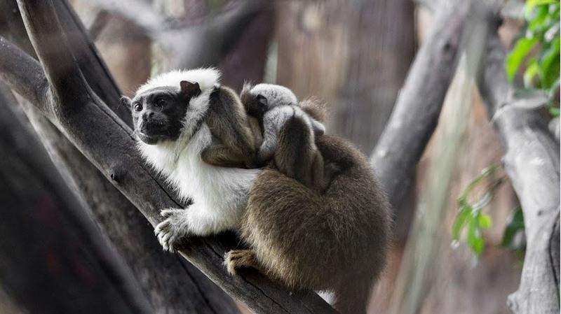 Nascimento de dois filhotes de Sauim-de-Manaus foi festejado por biólogos do Zoológico de Brasília (Foto: FJZB/Divulgação)