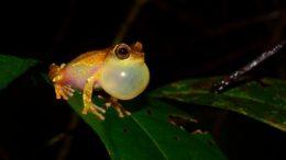 Nova espécie de sapo ainda não catalogada foi encontrada em região da floresta amazônica (Foto: Fapesp/Divulgação)