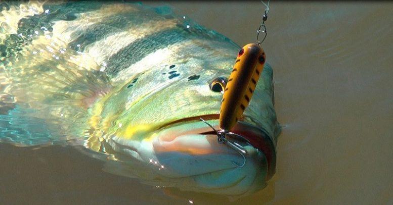 Tucunaré se tornou é o peixe símbolo da pesca esportiva no Estado a partir de novo decreto (Foto: Sema/Divulgação)