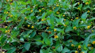 Patente de substância do jambu nos EUA inviabiliza estudos da erva no Amazonas