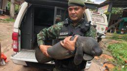 Peixe boi resgatado em Itacoatiara
