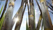 Supercana transgênica tem menos folhas e é resistente a pragas (Foto: CTC/Divulgação)