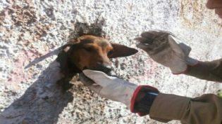 Cachorro é resgatado após ficar com cabeça presa em muro