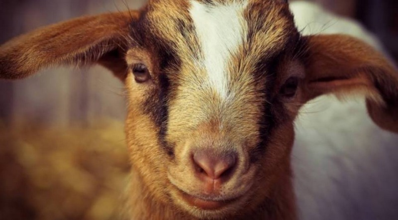 Cabras da raça Kiko são usadas para comer planta venenosa em cidade dos Estados Unidos (Foto: Divulgação)