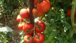 Embrapa vai testar cultivo de nova espécie de tomate rico em vitamina A (Foto: Leandro Lobo/Embrapa)