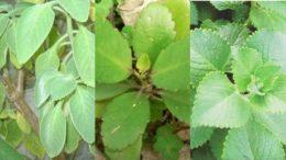 Boldo, corama e malvariço são três das cinco espécies de plantas medicinais produzidas no Viveiro Municipal (Foto: Semmas/Divulgação)
