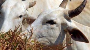 Abate de bovinos e de suínos cresce em relação a 2017, diz IBGE