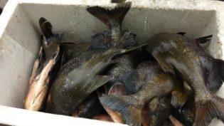 Setecentos quilos de peixe apreendido são doados para instituições de Manaus