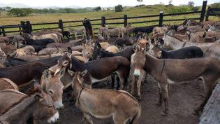 Justiça da Bahia proíbe abate de jumentos para a Ásia após maus-tratos