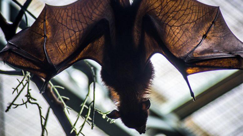Morcego - FMT