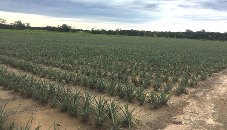 Lavoura de abacaxi em Itacoatira, maior produtor do Estado (Foto: Idam/Divulgação)