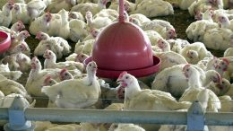 JBF recolheu frango já nas prateleiras de supermercados (Foto: ABr/Acervo)