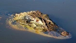 Exploração comercial de jacarés no Amazonas é viável, afirmam pesquisadores