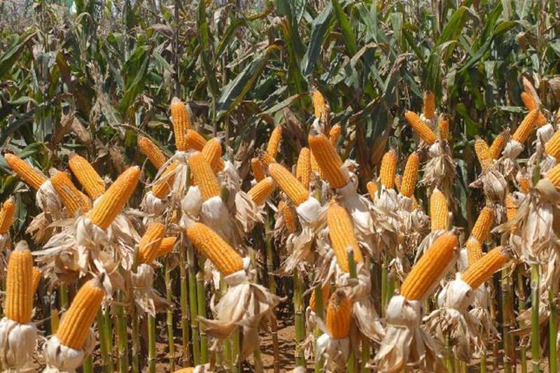 Plantio de milho puxou safra de grãos este ano (Foto: Elza Fiúza/ABr)